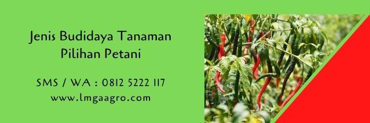 budidaya tanaman,benih cabe,tanaman cabe,petani,usaha pertanian,cabe merah,lmga agro