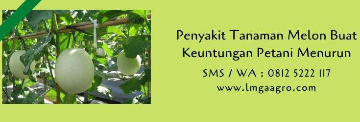 penyakit tanaman,budidaya melon,benih melon,buah melon,melon,budidaya buah,lmga agro