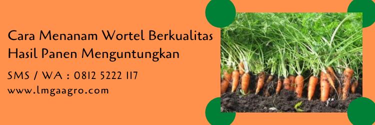 cara menanam wortel,wortel.benih wortel,budidaya wortel.tanaman wortel.budidaya tanaman,pertanian,petani,lmga agro