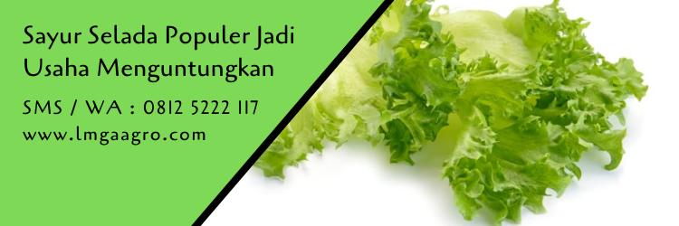 sayur selada,daun selada,selada,benih selada,budidaya tanaman,pertanian,berkebun,lmga agro