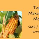 Tanaman Jagung Makanan Pokok Lezat Menguntungkan
