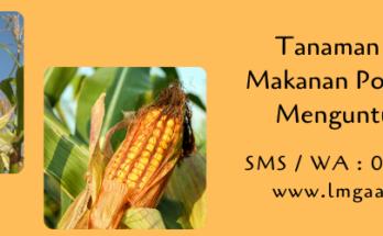 tanaman jagung,jagung,jagung manis,budidaya jagung,benih jagung,budidaya tanaman,pertanian,lmga agro