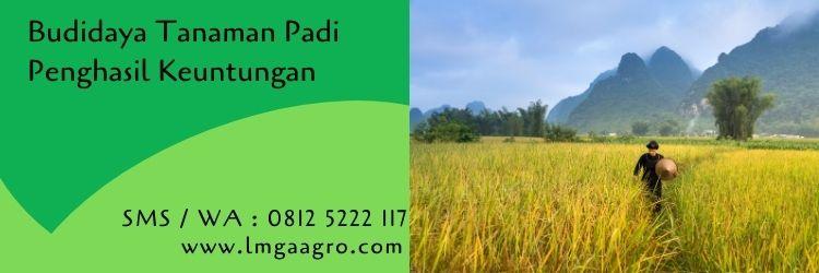 budidaya tanaman padi,insektisida sistemik untuk padi,tanaman padi,petani,lmga agro