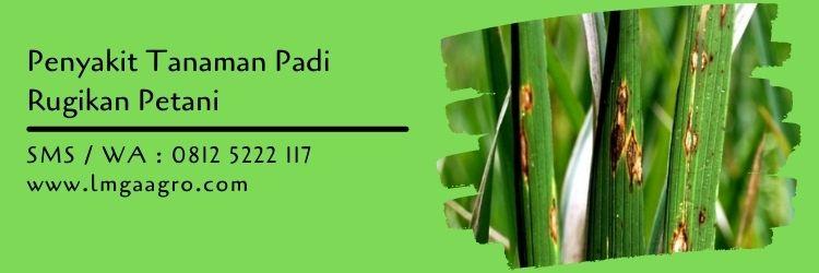 tanaman padi,budidaya tanaman padi,tanaman padi,pertanian,lmga agro
