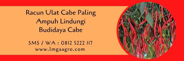 Racun Ulat Cabe Paling Ampuh Lindungi Budidaya Cabe