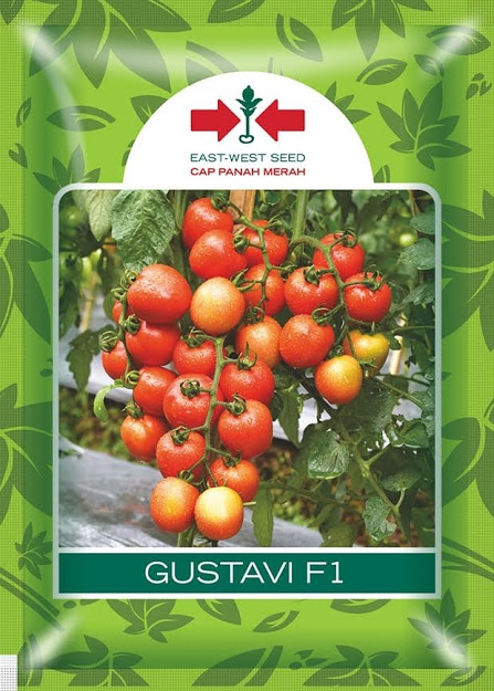 tomat gustavi,benih tomat,budidaya tomat