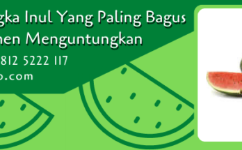 bibit semangka inul yang paling bagus,bibit semangka,benih semangka,budidaya semangka,buah semangka,semangka,lmga agro