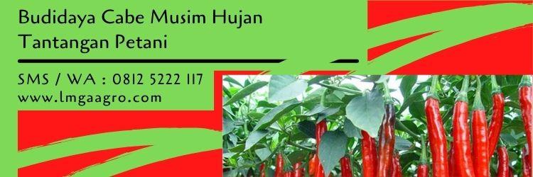 fungisida untuk cabe di musim hujan,fungisida cabe,budidaya cabe,tanaman cabe,lmga agro