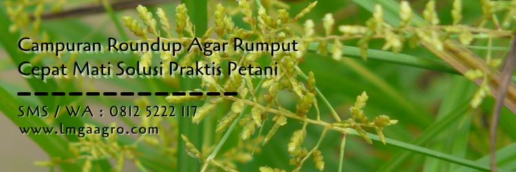 campuran roundup agar rumput cepat mati,roundup,herbisida,racun rumput,lmga agro