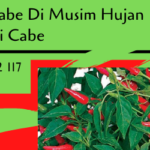 Fungisida Untuk Cabe Di Musim Hujan Penting Bagi Petani Cabe