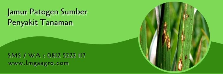 nativo vs amistartop,budidaya tanaman,pertanian,hama tanaman,lmga agro