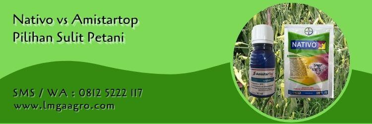 nativo vs amistartop,budidaya tanaman,fungisida,petani,pertanian,lmga agro