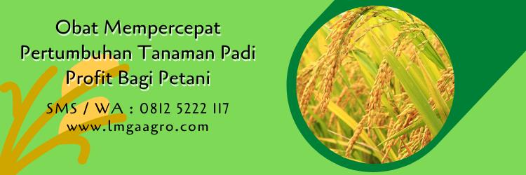 obat mempercepat pertumbuhan tanaman padi,budidaya padi,tanaman padi,petani,lmga agro