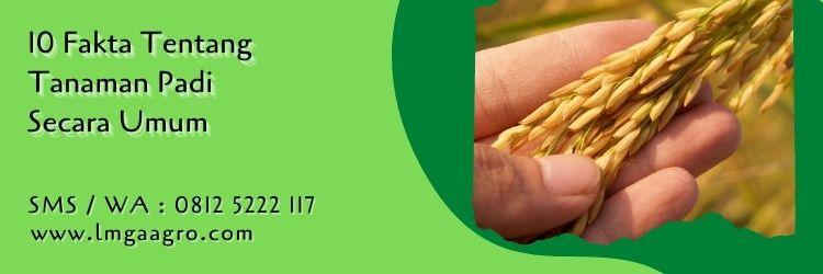 10 fakta tentang tanaman padi,tanaman padi,budidaya tanaman padi,padi,pertanian,lmga agro