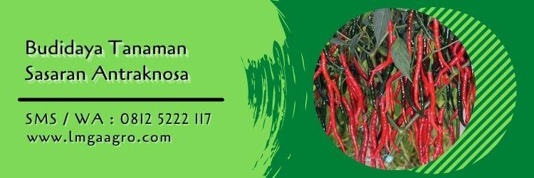 Cabai Red Kriss Tahan Patek (Antraknosa)