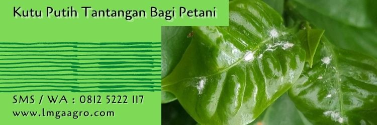 insektisida alami untuk kutu putih,kutu putih,hama tanaman,petani,budidaya tanaman,lmga agro