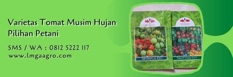 fungisida untuk tomat di musim hujan,benih tomat,budidaya tomat,musim hujan,lmga agro