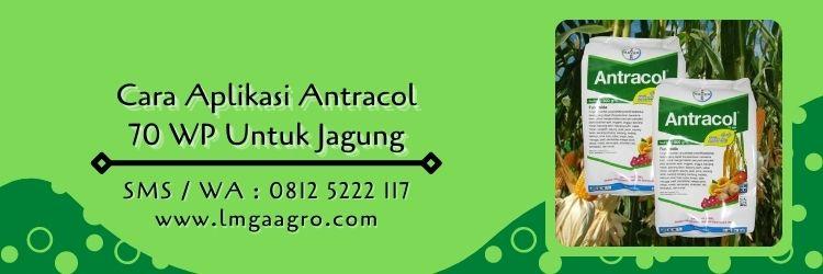 antracol untuk jagung,cara aplikasi antracol 70 wp,fungisida antracol,fungisida bayer,budidaya jagung,lmga agro