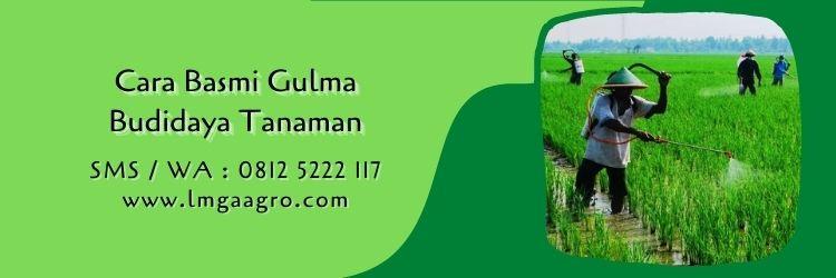 waktu yang tepat untuk menyemprot rumput,budidaya tanaman,herbisida,petani,lmga agro