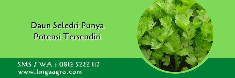 pupuk yang cocok untuk tanaman seledri,daun seledri,budidaya seledri,daun sop,petani,sayuran,lmga agro