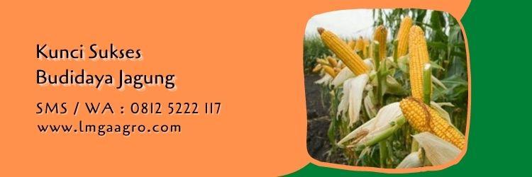 pupuk ZA untuk jagung,budidaya jagung,benih jagung,pemupukan jagung,pupuk za,lmga agro
