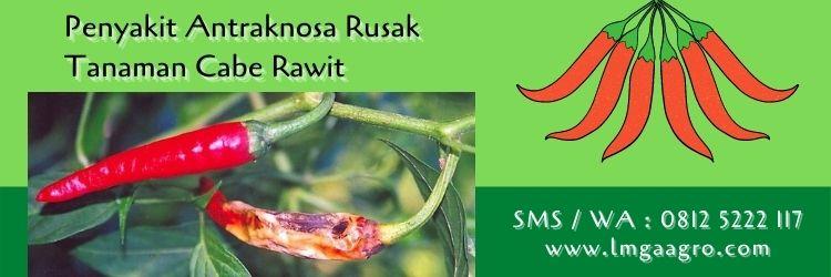 varietas cabai rawit tahan antraknosa,antraknosa,penyakit tanaman,patek,budidaya cabe,lmga agro