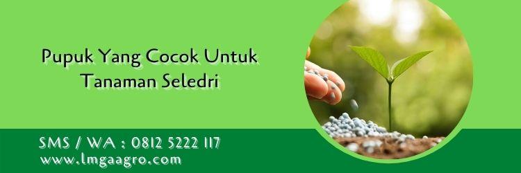 pupuk yang cocok untuk tanaman seledri,tanaman seledri,daun seledri,seledri,pemupukan,pupuk,lmga agro