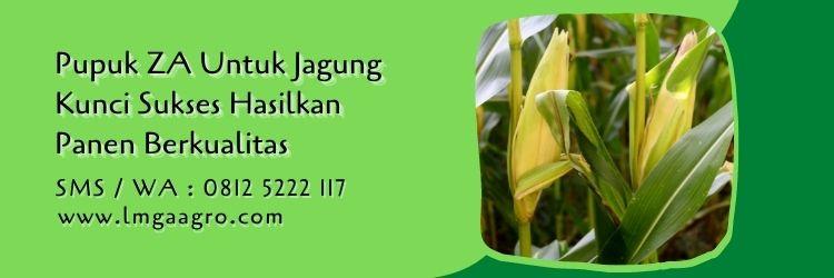 pupuk ZA untuk jagung,budidaya jagung,jagung manis,tanaman jagung,petani,lmga agro