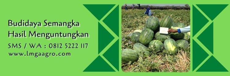 semangka madrid,budidaya semangka,benih semangka,budidaya tanaman,lmga agro