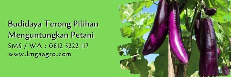 terong milano,budidaya terong,benih terong,bibit terong,terong ungu,terong hijau,lmga agro