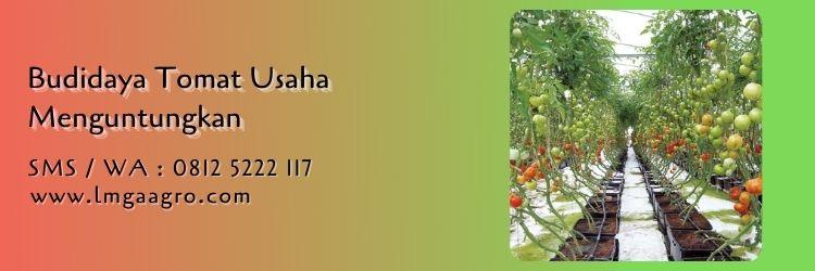 tomat adella,budidaya tomat,benih tomat,cara menanam tomat,peluang usaha,lmga agro