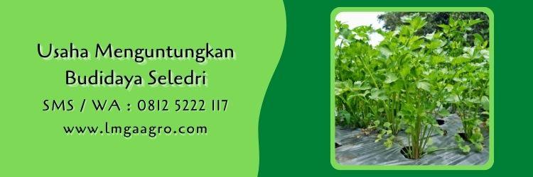 seledri summer green,budidaya seledri,benih seledri,daun seledri,lmga agro