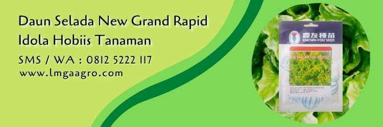 daun selada new grand rapid,budidaya selada,daun selada,benih selada,lmga agro