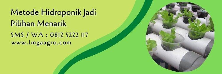 daun selada new grand rapid,daun selada,budidaya selada,hidroponik,lmga agro