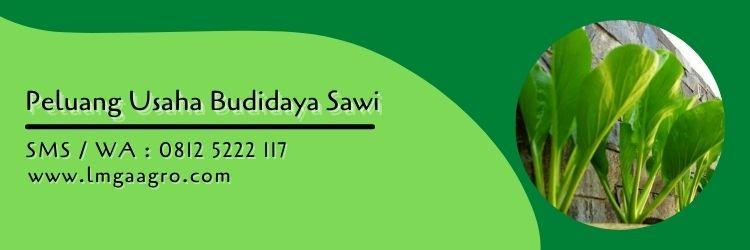 sawi shinta,benih sawi,budidaya sawi,sayuran hijau,sawi hijau,bibit sawi,daun sawi,lmga agro