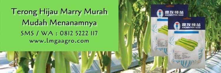 terong hijau marry,budidaya terong,benih terong,terong hijau,cara menanam terong,lmga agro