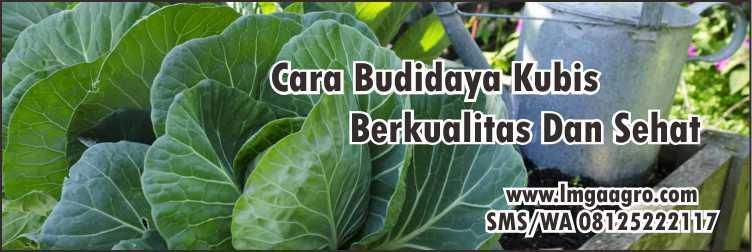 Sayuran Kubis Best F1,Sayuran,Pertanian,Benih Tanaman Hibrida,Hidroponik