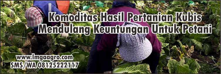 GRAND 22 KUBIS UNGGUL DI DATARAN RENDAH MUSIM HUJAN DAN KERING