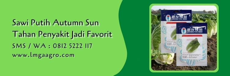 sawi putih autumn sun,budidaya sawi,sawi putih,benih sawi,lmga agro