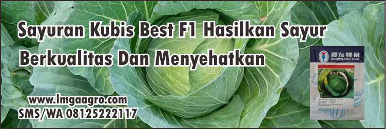 Sayuran Kubis Best F1 Hasilkan Sayur Berkualitas Dan Menyehatkan