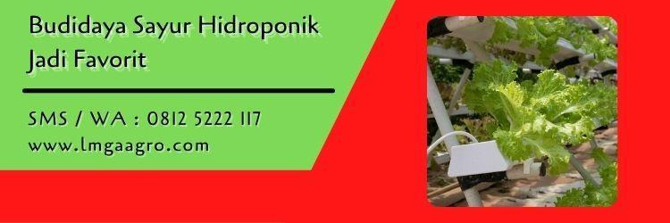 selada red rapid,daun selada,hidroponik,budidaya tanaman,berkebun,selada,lmga agro