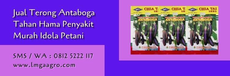 terong antaboga,terong ungu,benih terong,petani,budidaya terong,bibit terong,terong hibrida,lmga agro